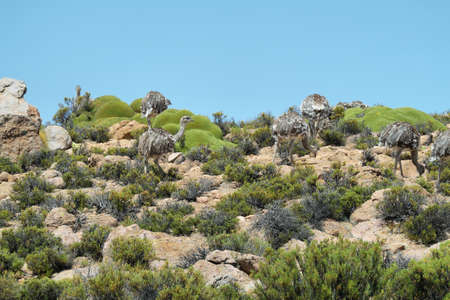 high plateau: Group of rhea pennata pennata (american ostrich) near Salar de Surire national park, Chile