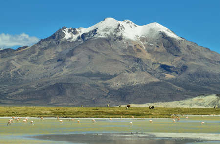 high plateau: Snow capped mountain with flamingos and lamas grazing in the base on Salar de Surire national park, Chile Stock Photo