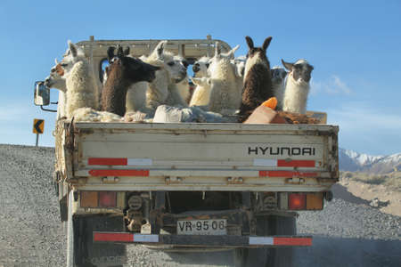 high plateau: GUALLATIRE, CHILE - APRIL 2015: Curious scene of a truck carrying a flock of lamas on April 15, 2015 in Guallatire village, Chile