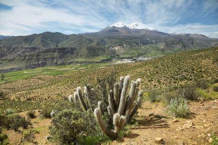 nevado: Cactus plant with Putre village and Nevado de Putre at background, Chile