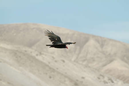 turkey vulture: Turkey Vulture (Cathartes aura) flying over Lluta valley, Chile Stock Photo