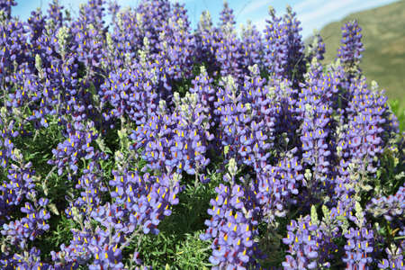 lupins: Purple, wild Lupins (Lupinus polyphyllus) flowers in northern chile Stock Photo