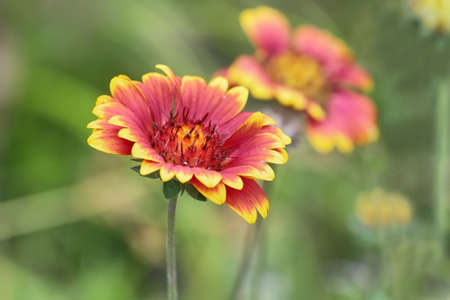 fanfare: Red and yellow Gaillardia fanfare Flower in Hongshilin national park, Hunan province, China