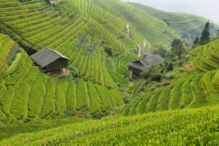 terraced: Views of green Longji terraced fields, China