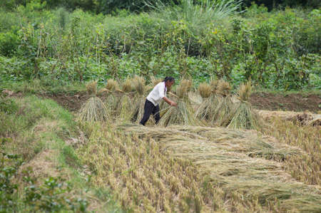 bunches: YANGSHUO, CHINA - SEPTEMBER 19, 2015: chinese native woman harvesting  ripe rice and doing bunches near touristic town of Yangshuo, Guanxi province, China