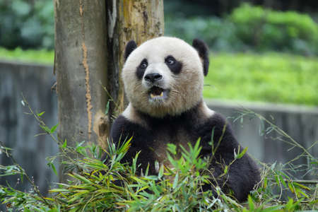Nice panda bear in a park of Guilin, China
