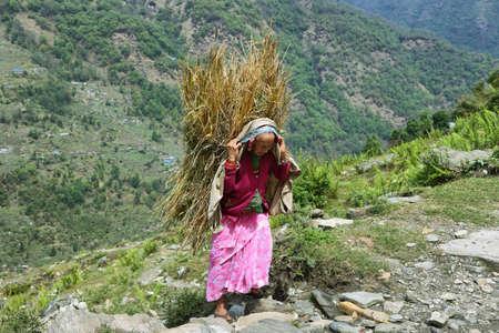 uphill: LANDRUK, NEPAL - APRIL 19, 2016: nepalese old woman carrying uphill a bundle of dry wheat in her back in plantation fields near Landruk village, Nepal. Editorial
