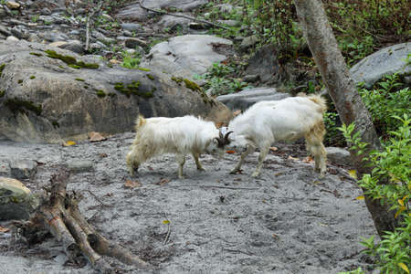 mountain goats: Couple of mountain goats fighting, Annapurna conservation area, Nepal