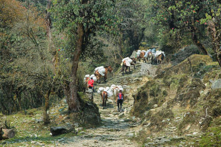 uphill: BANTHANTHI, NEPAL - APRIL 12, 2016: donkeys carrying heavy bags uphill in Annapurna base camp hiking trail, Nepal Editorial