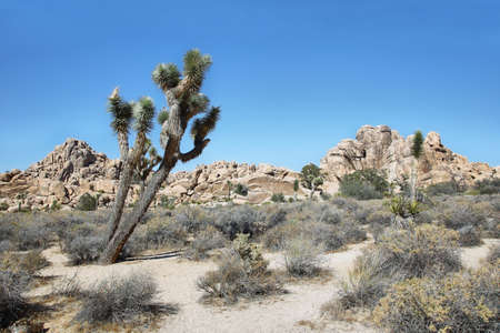 joshua: Boulders and joshua tree in Joshua Tree National Park, California.