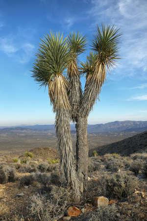 joshua tree national park: Big Joshua Tree in Joshua Tree National Park, California.