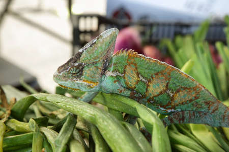 Green colored chameleon walking over a heap of vegetables Stock Photo