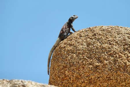 Chuckwalla lizard in a rock in Joshua Tree National Park, California