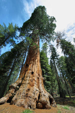 californian: Largest tree in the world - General Sherman tree in Giant Forest of Sequoia National Park in Tulare County, California, United States.