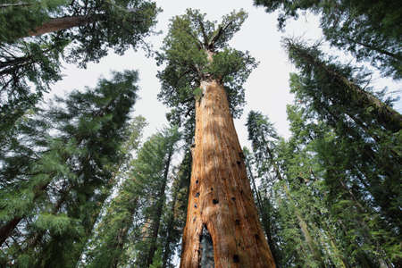 Largest tree in the world - General Sherman tree in Giant Forest of Sequoia National Park in Tulare County, California, United States.