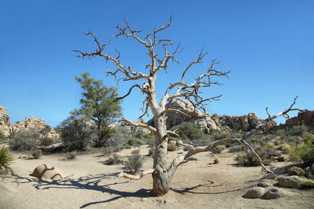 Dead tree and boulders in Joshua Tree National Park, California. Stock Photo