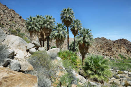 joshua: 49 palms Oasis in Joshua Tree National Park, California