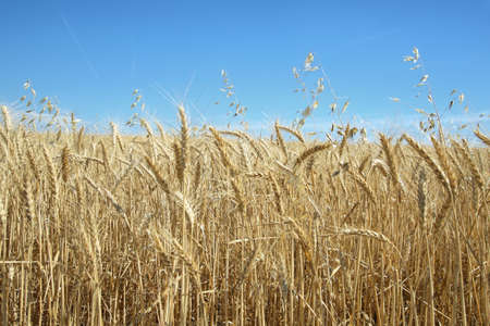 Wheat fields near Lindsay, California