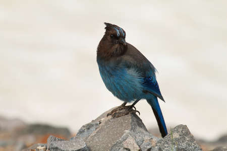 crater lake: Stellers Jay at Crater Lake , Oregon Stock Photo