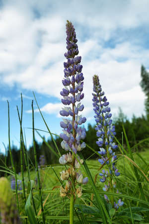 Close-up of purple, wild Lupins (Lupinus polyphyllus) flowers in Oregon, Usa