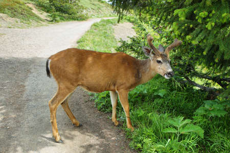 Healthy deer eating in Olympic National Park, WA, USA Stock Photo
