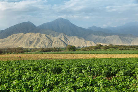 Passion fruits (maracuya) plantation with desert mountains at background in Barranca province, Peru