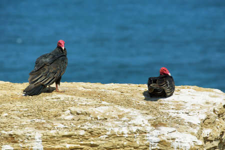 Two turkey vultures sitting on a cliff in Paracas nature reserve in Peru Stock Photo