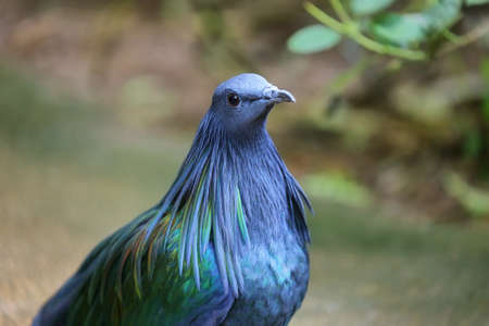 beautiful female Nicobar Pigeon (Caloenas nicobarica)