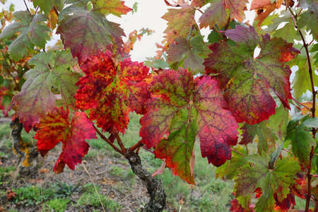 Close up of Autumn wild vine leaves in La Rioja, Alava, Spain