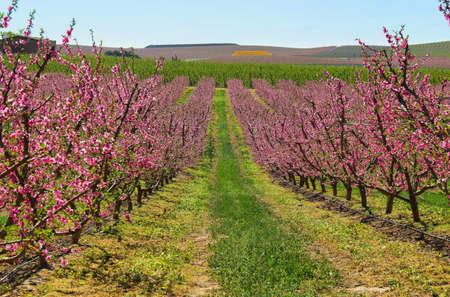 Melocotoneros en primavera florece en Aitona, Cataluña