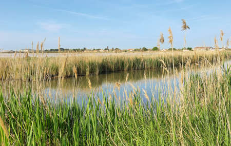 Pond and salt flats with pampas grass near medieval village of Aigues Mortes, France