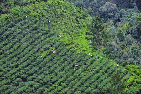 People working in tea plantations in Munnar, Kerala, India