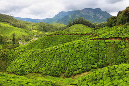 Munnar, India - September 18, 2019: Women working in Tea plantations between Yellapatty and Top station in Munnar, Kerala, South India Imagens