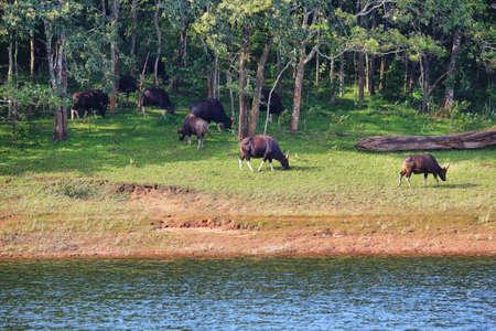 Wild Indian Gaurs or buffalos grazing in Periyar national park, Kerala, India. Reklamní fotografie