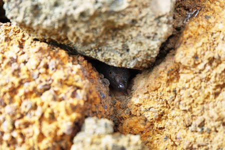 Lizard stares at the camera hidden in the rocks, Tenerife, Canary islands, Spain