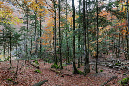 Autumn beech forest in Ordesa and Monte Perdido National Park, Huesca province, Spain