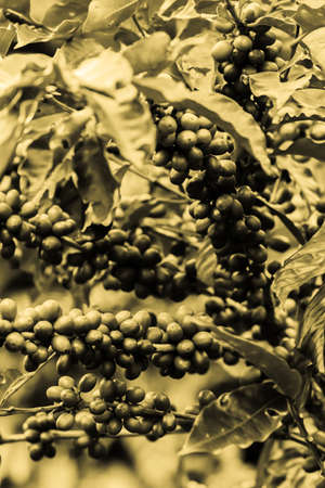 a classic sepia toned image of coffee cherries still on the plant