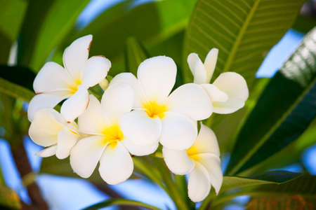 leelawadee: Good smell of white flower ,it name is Lan Tom or Leelawadee on morning time