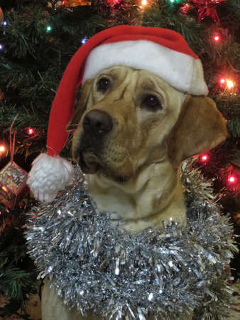 labrador christmas: Labrador dog breed congratulates Christmas.
