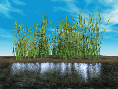 fertile land: Roots of a wheat plantation Stock Photo