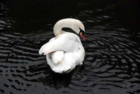 Extremely beautiful swan photo