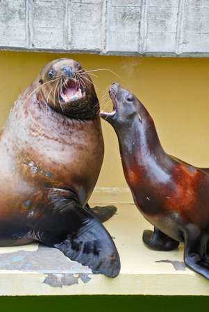 The couple of sea lions in Lithuanian Sea museum  photo