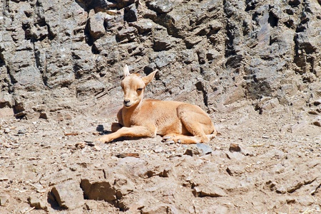 A little fawn on the background of rocks, Prague zoo
