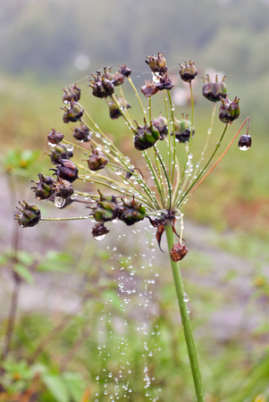 Raindrops on weed photo