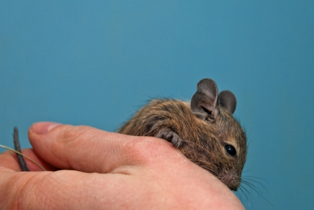 brush tailed: Degu sitting in a hand Stock Photo