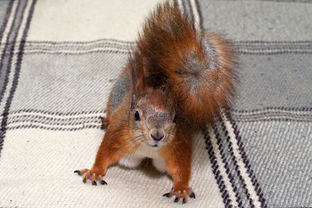 Red squirrel in the house photo