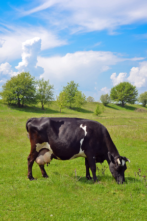 Cow on a spring pasture, Kyiv region photo