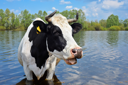 Cow on a watering place, Kyiv region, Ukraine  photo