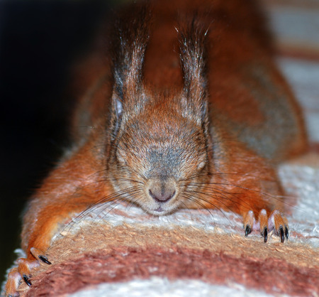 Portrait of red squirrel sleeping on sofa