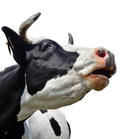 Koe geïsoleerd op wit Stockfoto
